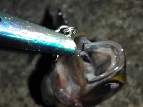 プラグで釣ったメバル