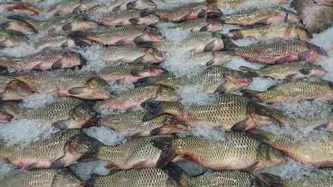 食用として売られる鯉