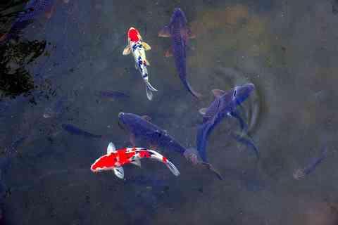 錦鯉と真鯉