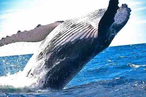 背面ジャンプするクジラ(鯨)の画像