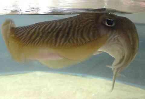 イカの種類 コウイカ