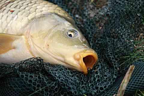 釣られた鯉