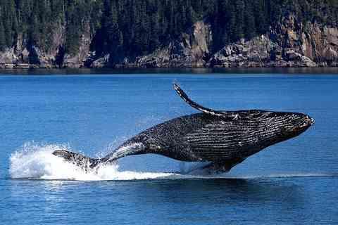 ジャンプするクジラ(鯨)の画像