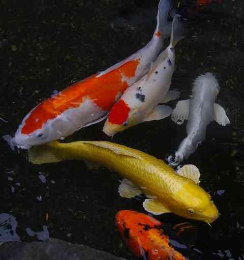 錦鯉の画像