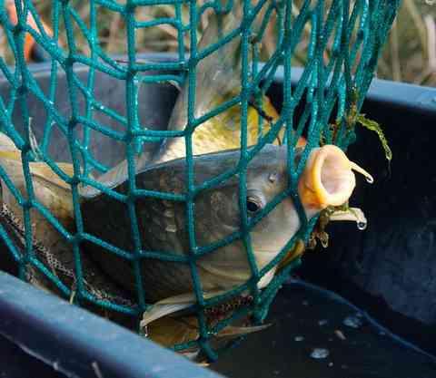 網に入れられた鯉