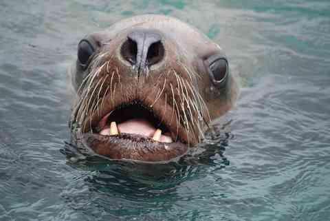 トドの顔面 画像
