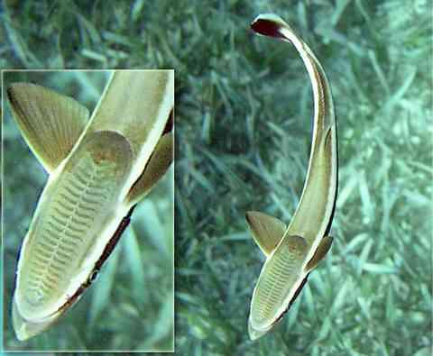 魚へん漢字一覧103 由来と魚の画像あり
