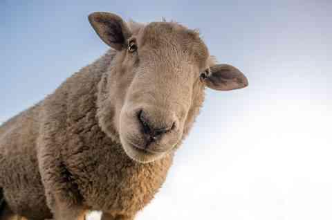 覗き込む羊