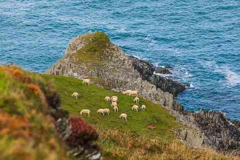 沿岸沿いの羊