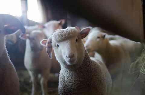 飼われる羊