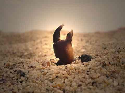 埋もれたカニのハサミ