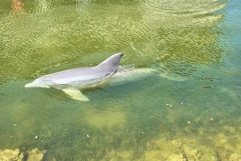 浅瀬に来るイルカ
