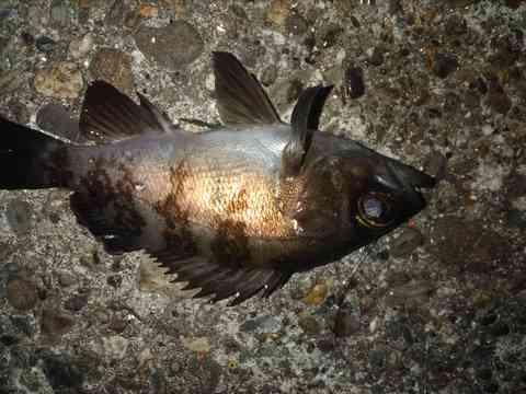 釣ったメバルの画像
