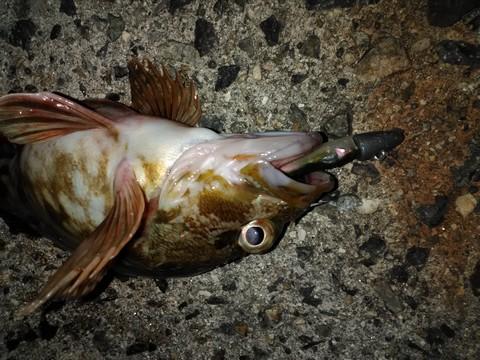 夜釣り ワームで釣ったカサゴ