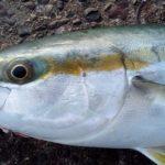 アジの泳がせ釣り仕掛けで釣れる魚