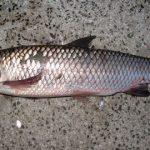 危険 脳に入る顎口虫が寄生する魚の種類