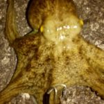 タコ餌木 オクトパスタップ ホワイトグロー