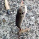 ジグサビキ ワームでアジを釣る