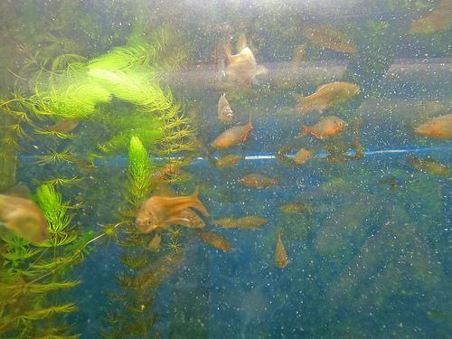 魚へん 興 鱮 大名釣りとも関係