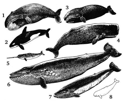 クジラの種類